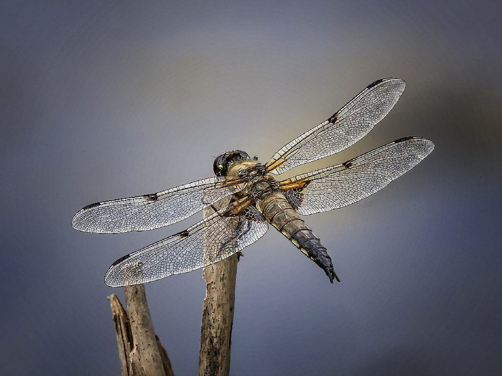 Four spotted chaser Libelluta fulva