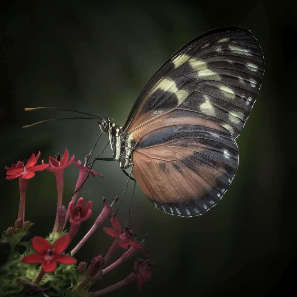 Golden Longwing Heliconius hecale