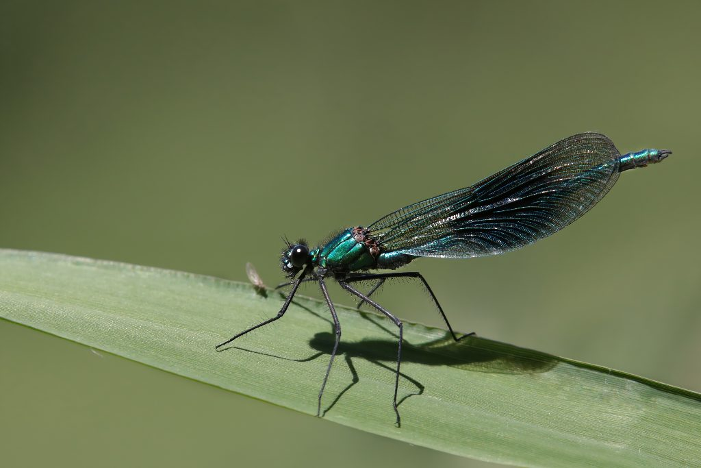 Banded demoiselle with aphid